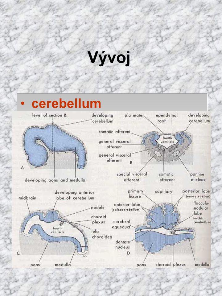 Vývoj cerebellum labium rhombencephali cerebelární ploténka
