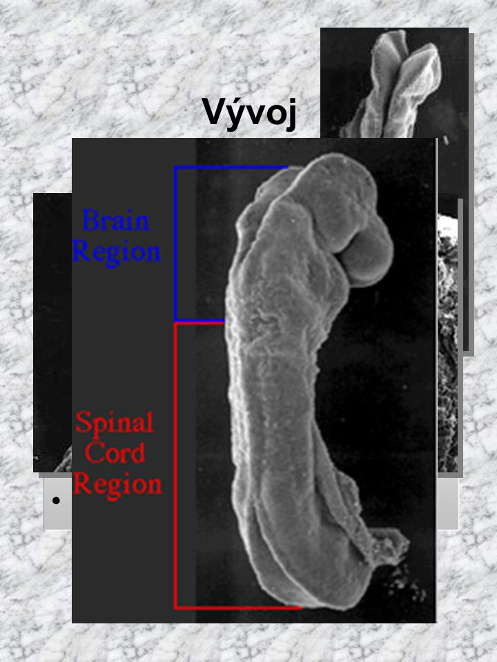 Vývoj neurální valy splývají ve výši 4. prvosegmentu (krční oblast)