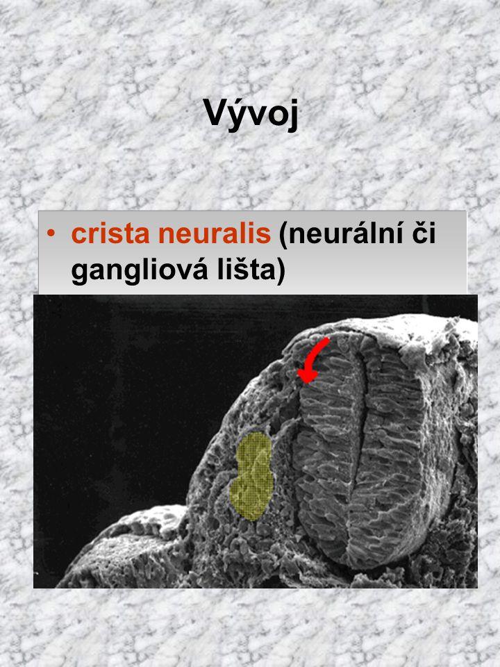 Vývoj crista neuralis (neurální či gangliová lišta)