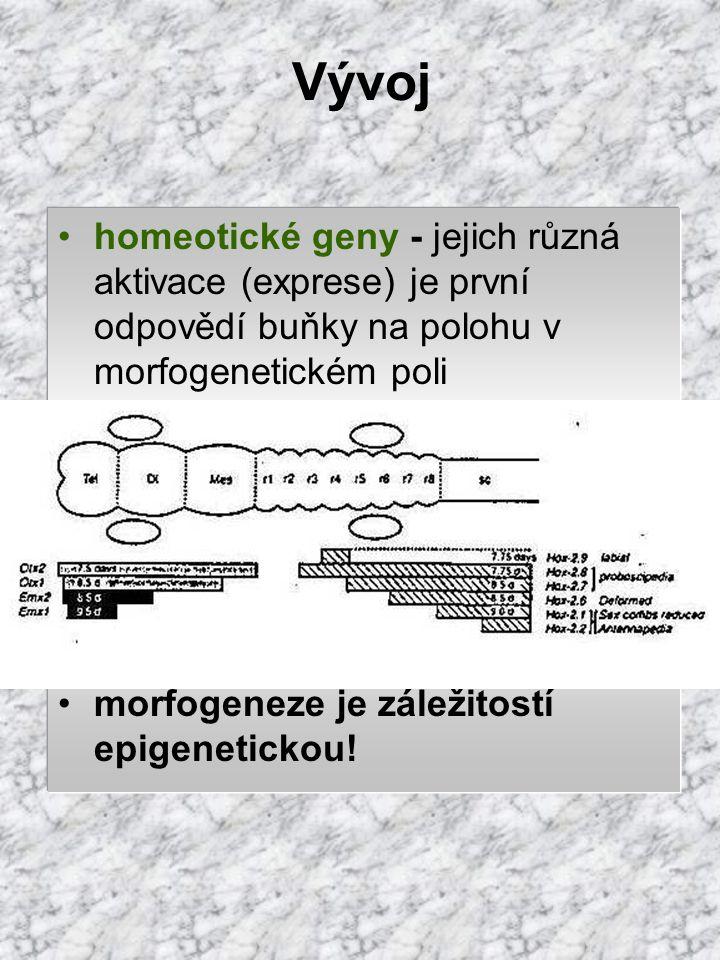 Vývoj homeotické geny - jejich různá aktivace (exprese) je první odpovědí buňky na polohu v morfogenetickém poli.