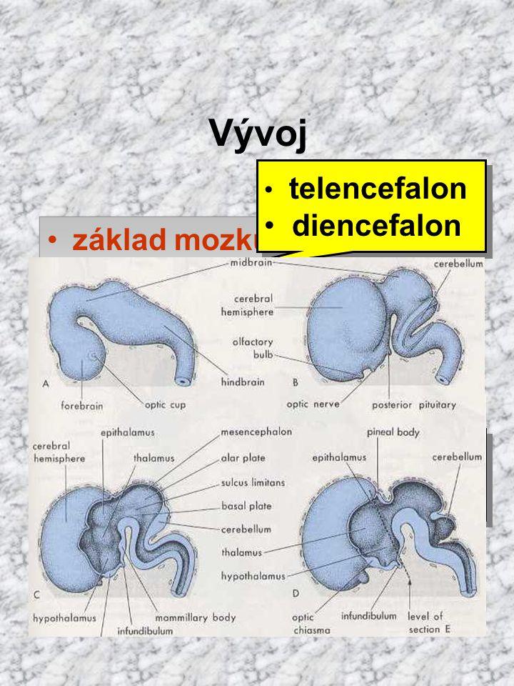 Vývoj diencefalon základ mozku: prozencefalon mezencefalon
