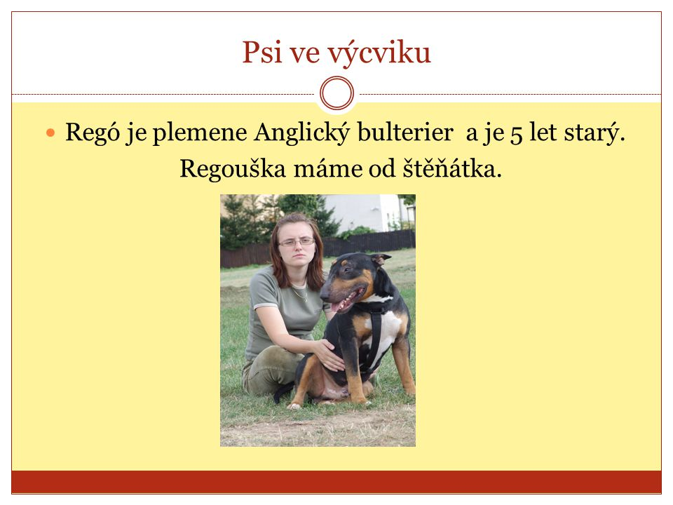 Psi ve výcviku Regó je plemene Anglický bulterier a je 5 let starý.
