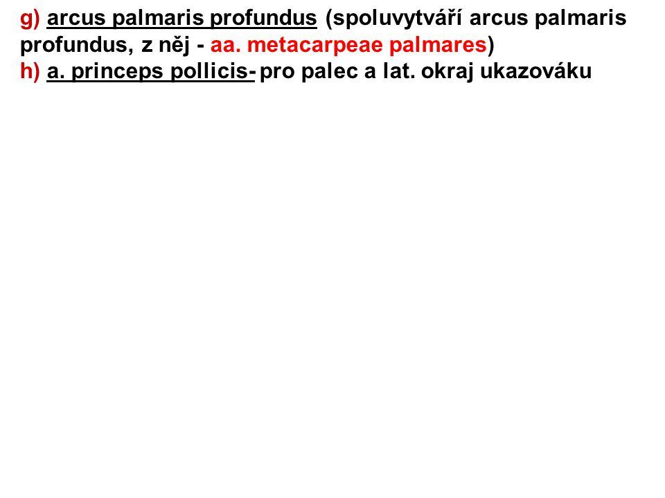 g) arcus palmaris profundus (spoluvytváří arcus palmaris profundus, z něj - aa. metacarpeae palmares)