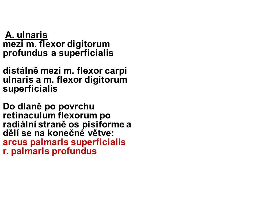 A. ulnaris mezi m. flexor digitorum profundus a superficialis. distálně mezi m. flexor carpi ulnaris a m. flexor digitorum superficialis.