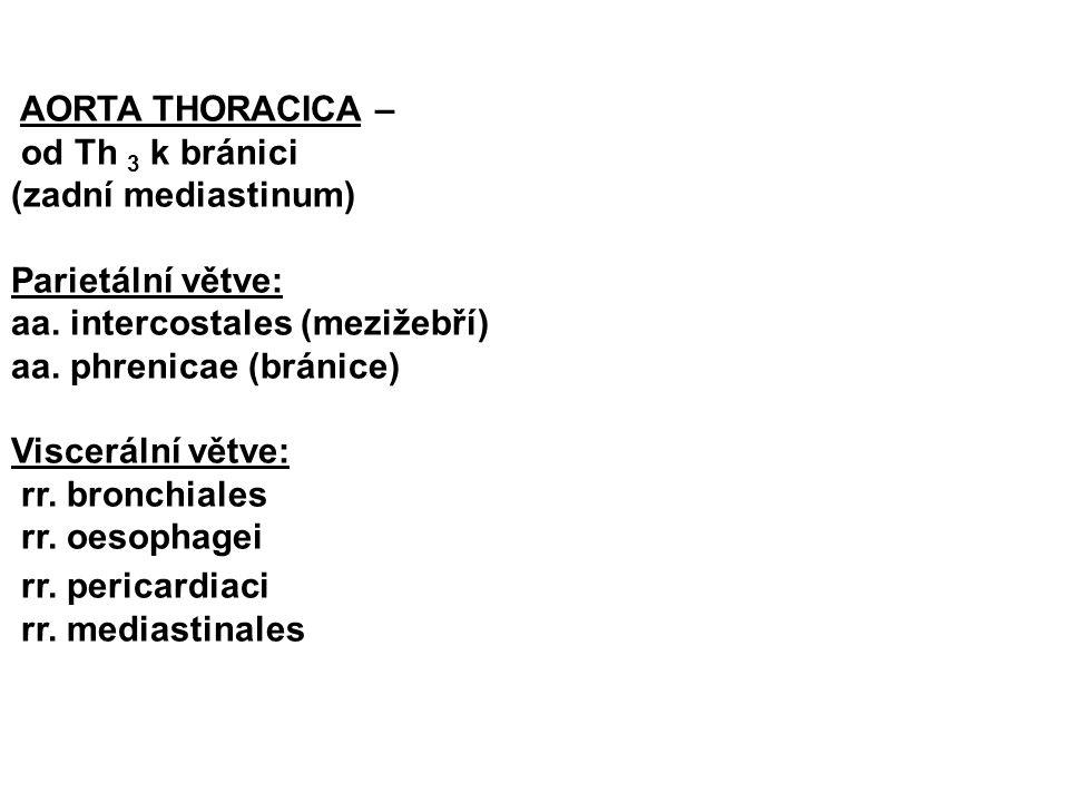 AORTA THORACICA – od Th 3 k bránici. (zadní mediastinum) Parietální větve: aa. intercostales (mezižebří)