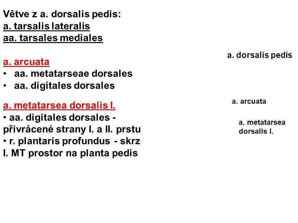 Větve z a. dorsalis pedis: a. tarsalis lateralis aa. tarsales mediales