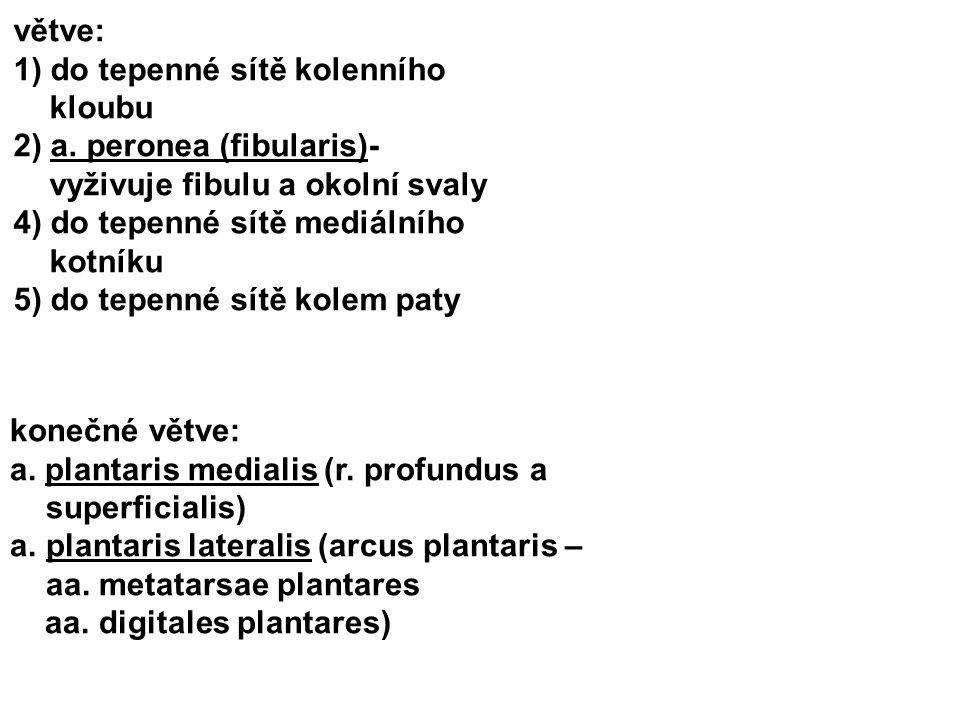 větve: 1) do tepenné sítě kolenního kloubu. 2) a. peronea (fibularis)- vyživuje fibulu a okolní svaly.
