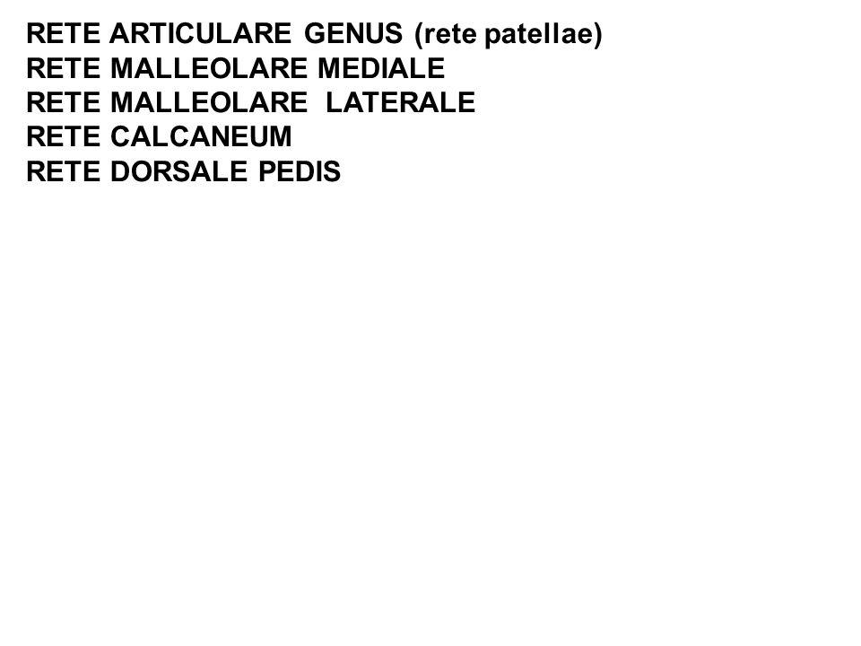 RETE ARTICULARE GENUS (rete patellae)