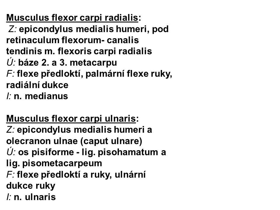 Musculus flexor carpi radialis: