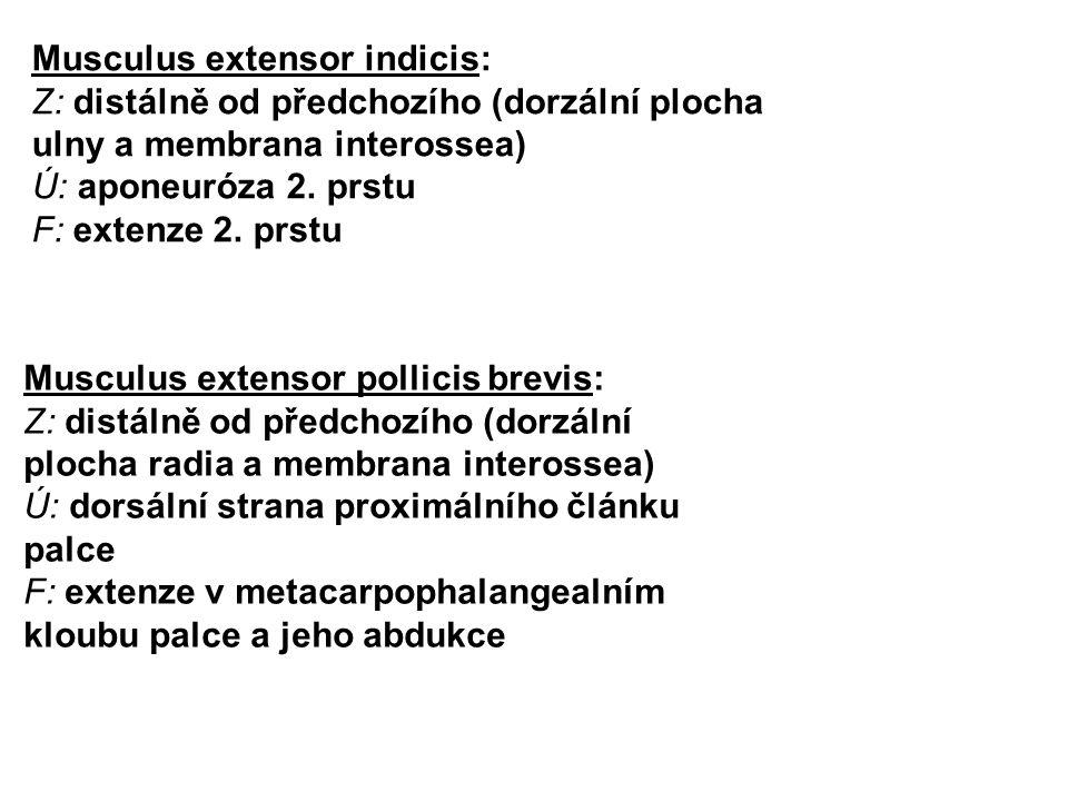 Musculus extensor indicis: