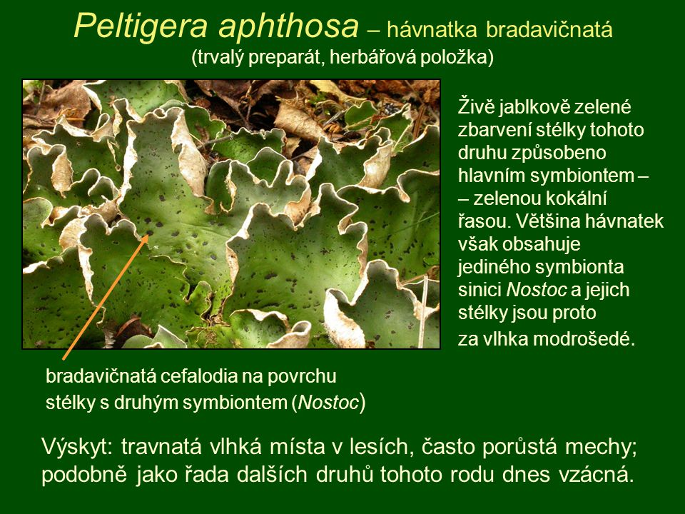 Peltigera aphthosa – hávnatka bradavičnatá