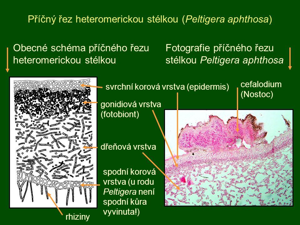 Příčný řez heteromerickou stélkou (Peltigera aphthosa)