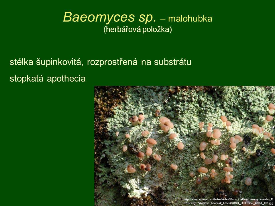 Baeomyces sp. – malohubka (herbářová položka)