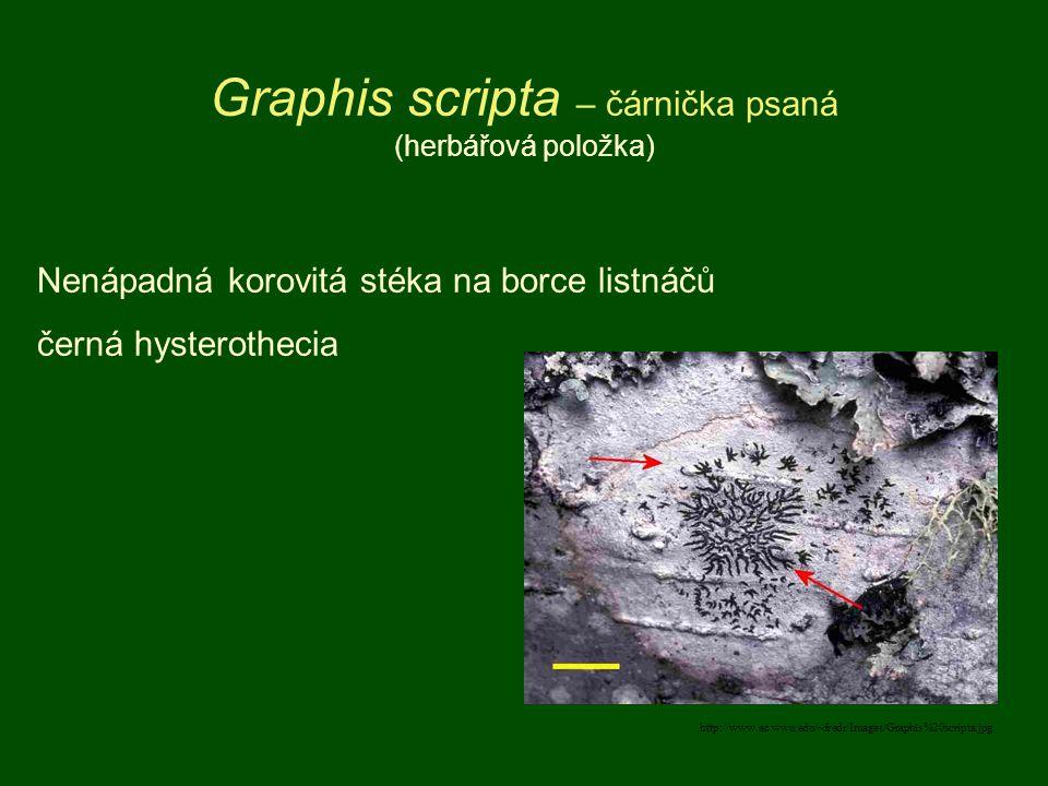 Graphis scripta – čárnička psaná (herbářová položka)