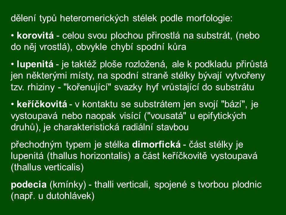 dělení typů heteromerických stélek podle morfologie: