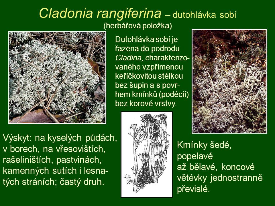 Cladonia rangiferina – dutohlávka sobí (herbářová položka)