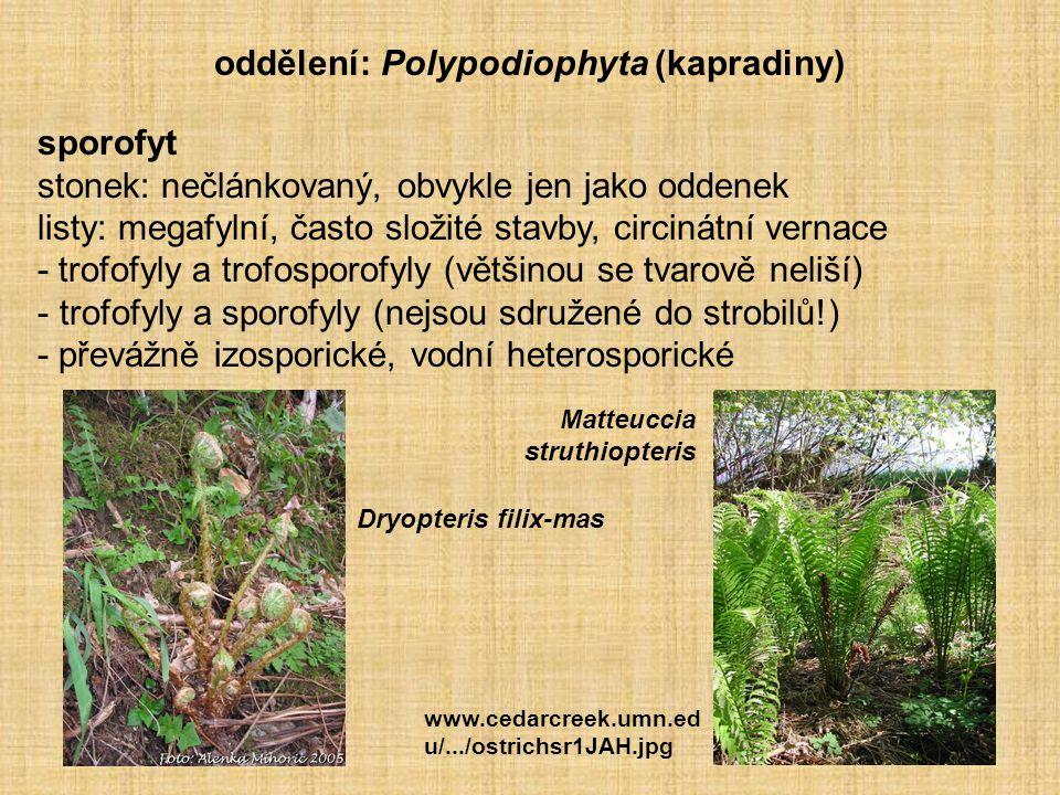 oddělení: Polypodiophyta (kapradiny)