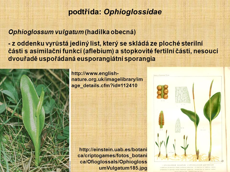 podtřída: Ophioglossidae