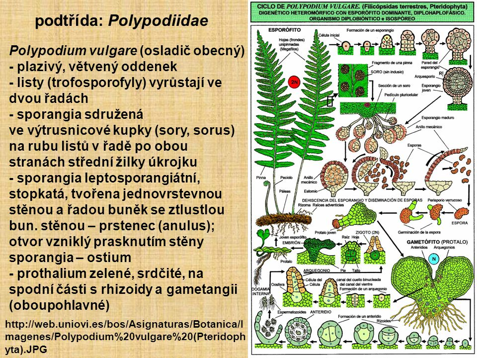 podtřída: Polypodiidae
