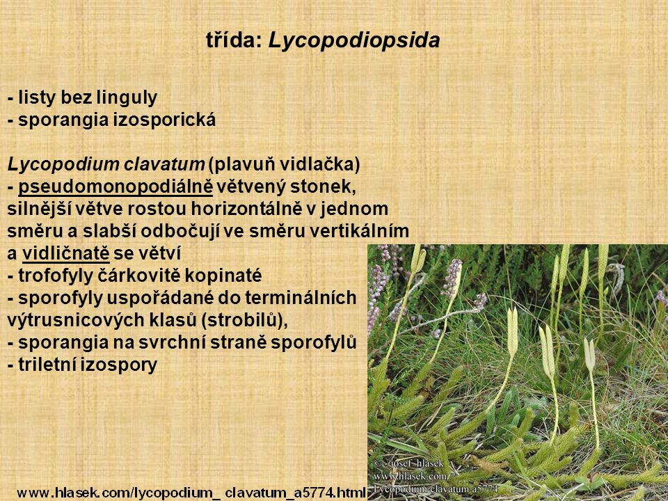 třída: Lycopodiopsida