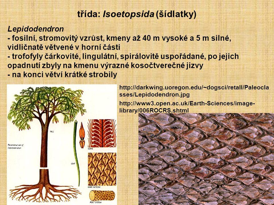 třída: Isoetopsida (šídlatky)