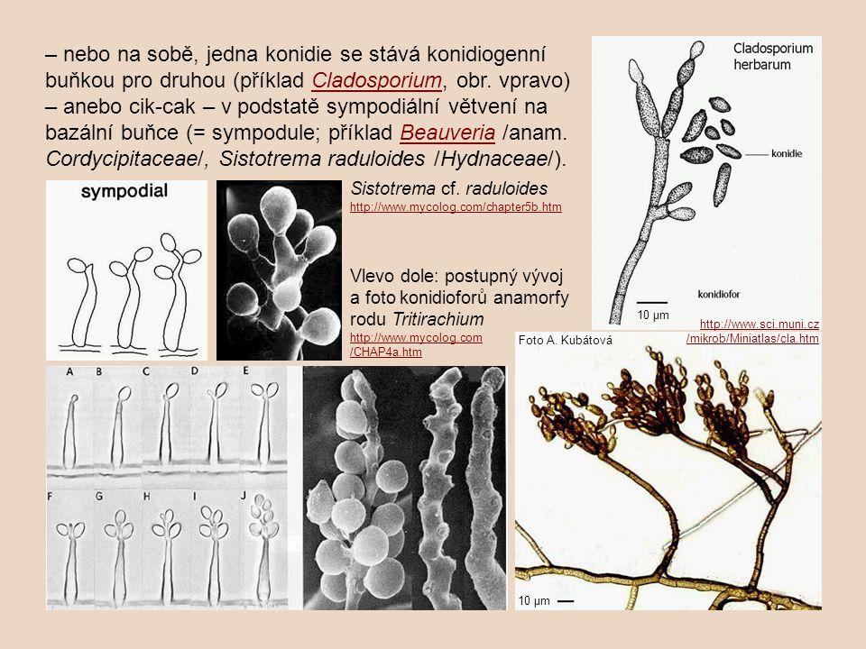 – nebo na sobě, jedna konidie se stává konidiogenní buňkou pro druhou (příklad Cladosporium, obr. vpravo) – anebo cik-cak – v podstatě sympodiální větvení na bazální buňce (= sympodule; příklad Beauveria /anam. Cordycipitaceae/, Sistotrema raduloides /Hydnaceae/).