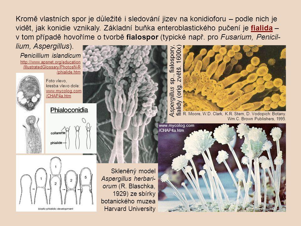 Kromě vlastních spor je důležité i sledování jizev na konidioforu – podle nich je vidět, jak konidie vznikaly. Základní buňka enteroblastického pučení je fialida – v tom případě hovoříme o tvorbě fialospor (typické např. pro Fusarium, Penicil-lium, Aspergillus).