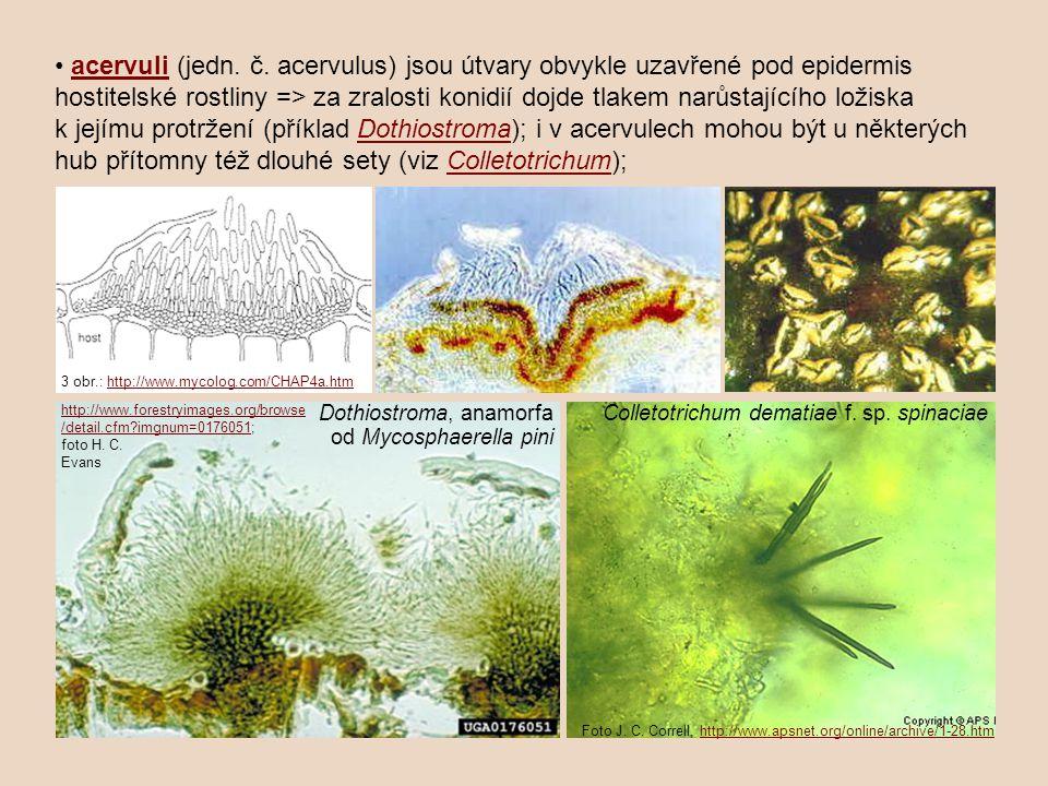 • acervuli (jedn. č. acervulus) jsou útvary obvykle uzavřené pod epidermis hostitelské rostliny => za zralosti konidií dojde tlakem narůstajícího ložiska k jejímu protržení (příklad Dothiostroma); i v acervulech mohou být u některých hub přítomny též dlouhé sety (viz Colletotrichum);