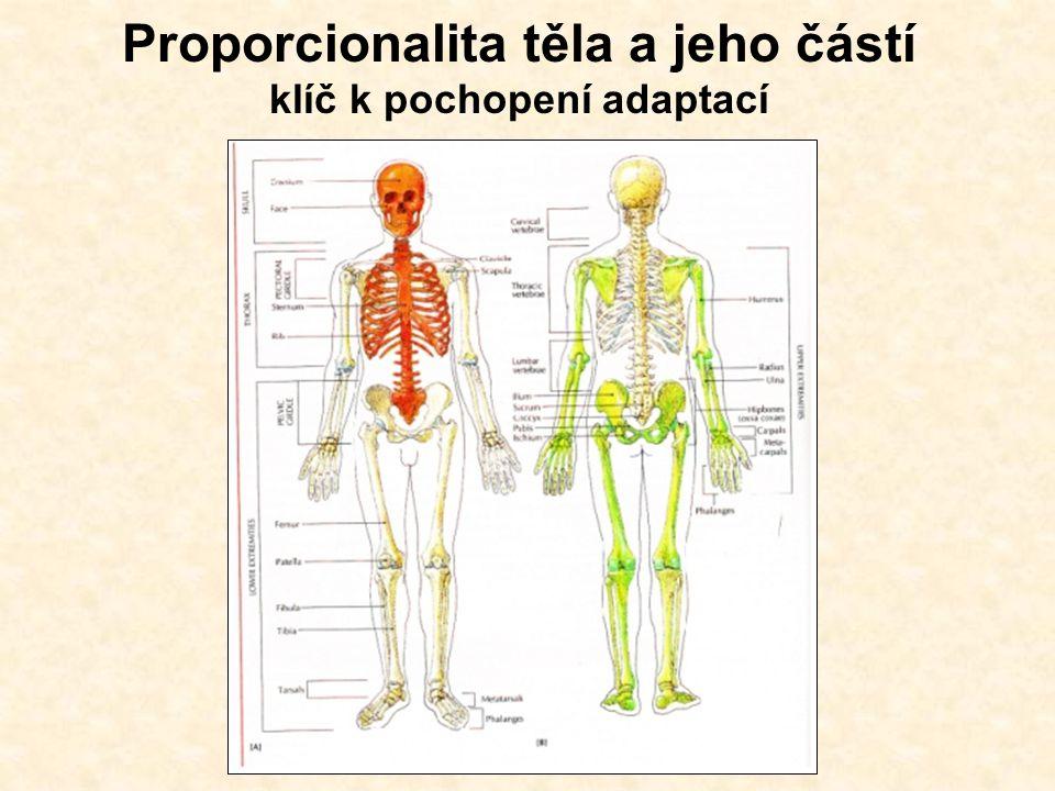 Proporcionalita těla a jeho částí klíč k pochopení adaptací