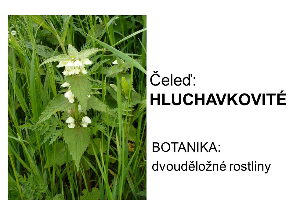 BOTANIKA: dvouděložné rostliny
