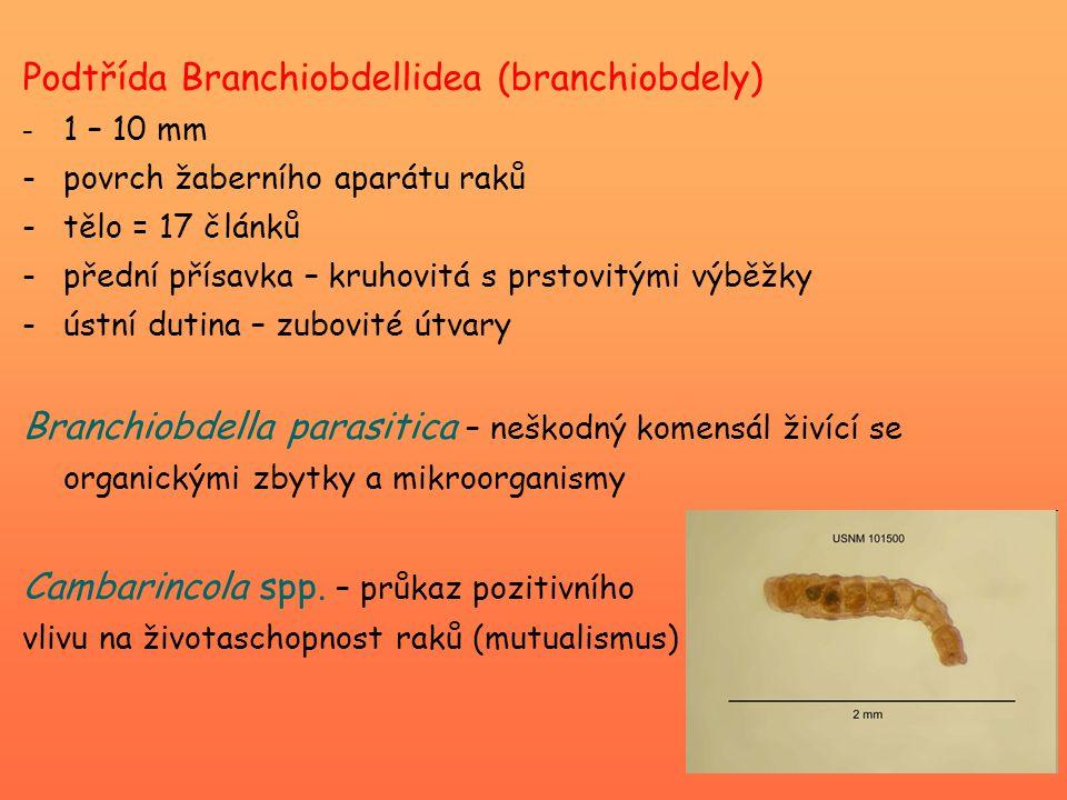 Podtřída Branchiobdellidea (branchiobdely)