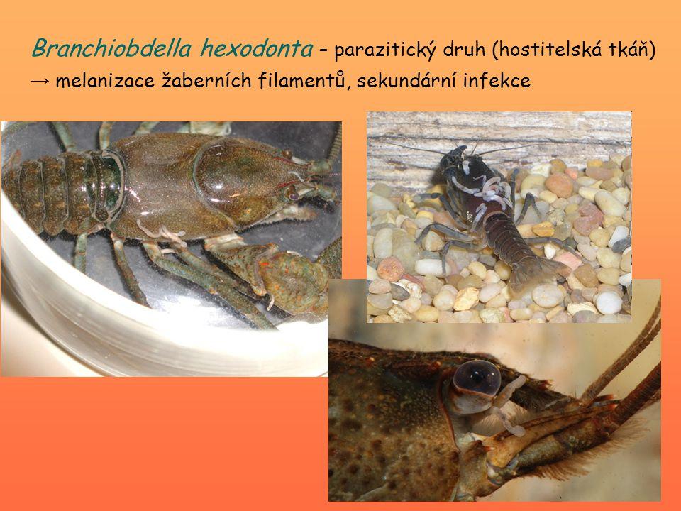 Branchiobdella hexodonta – parazitický druh (hostitelská tkáň) → melanizace žaberních filamentů, sekundární infekce