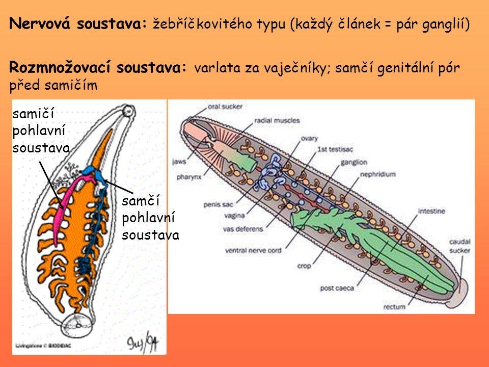 Nervová soustava: žebříčkovitého typu (každý článek = pár ganglií)