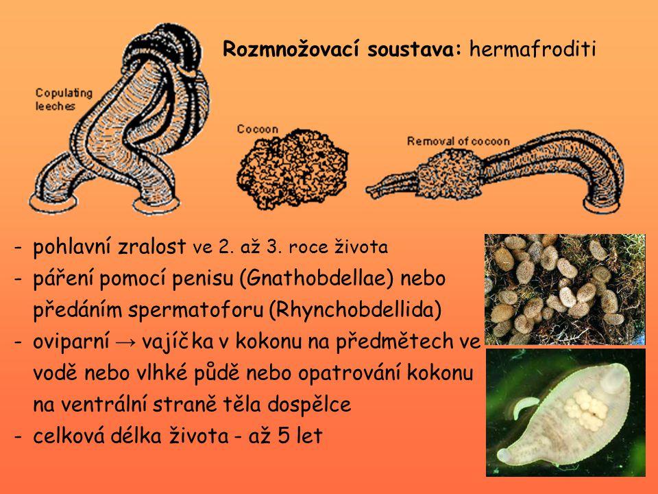 Rozmnožovací soustava: hermafroditi