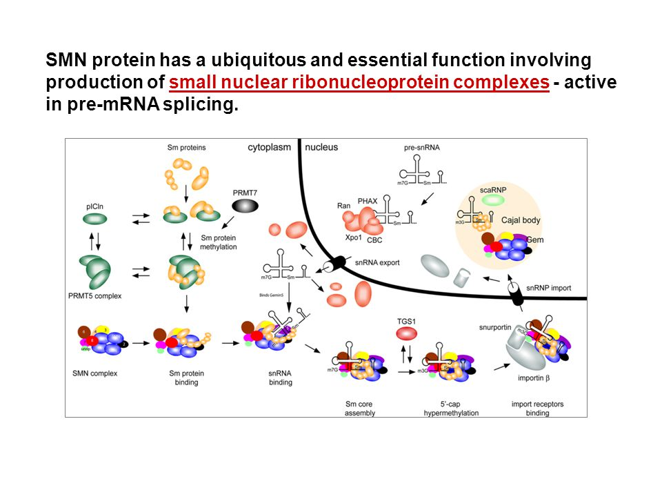 SMN protein has a ubiquitous and essential function involving production of small nuclear ribonucleoprotein complexes - active in pre-mRNA splicing.