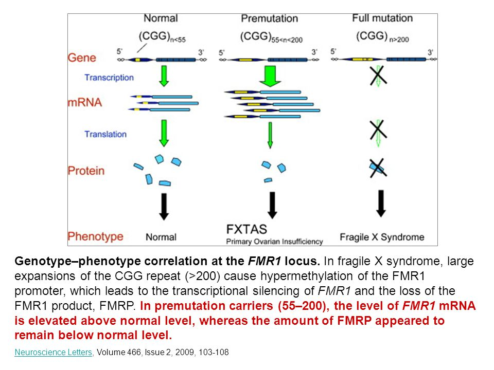 Genotype–phenotype correlation at the FMR1 locus