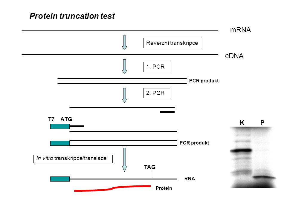 Protein truncation test