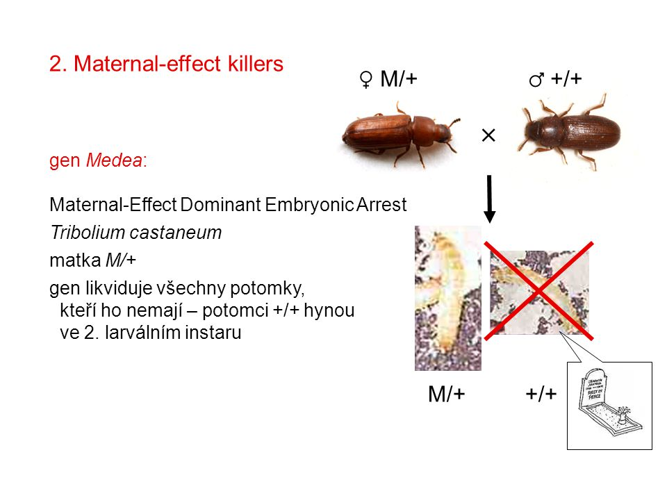  2. Maternal-effect killers ♀ M/+ ♂ +/+ M/+ +/+ gen Medea: