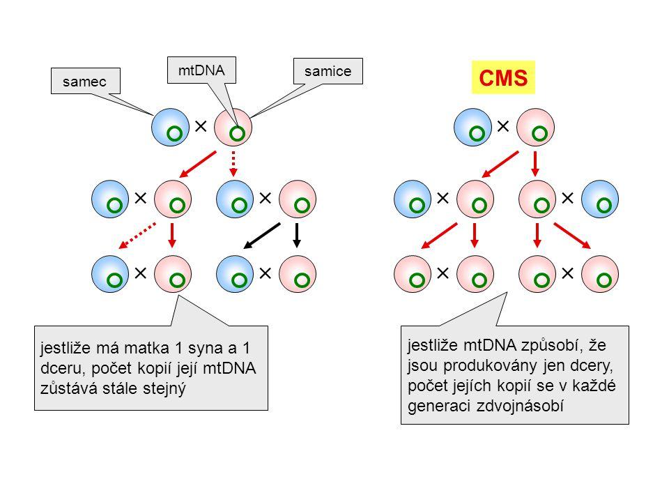 mtDNA samice. CMS. samec.   jestliže mtDNA způsobí, že jsou produkovány jen dcery, počet jejích kopií se v každé generaci zdvojnásobí.