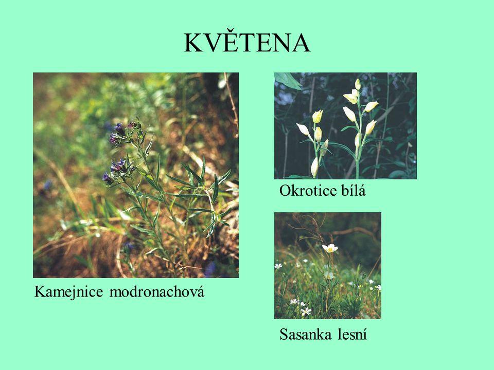 KVĚTENA Okrotice bílá Kamejnice modronachová Sasanka lesní