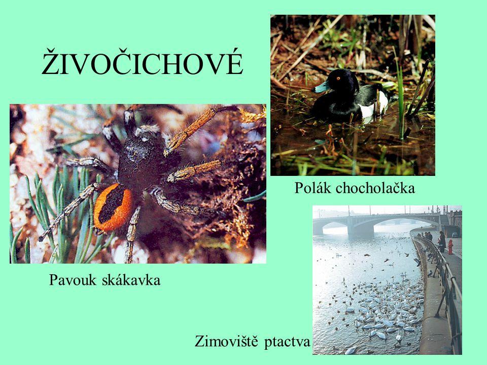 ŽIVOČICHOVÉ Polák chocholačka Pavouk skákavka Zimoviště ptactva