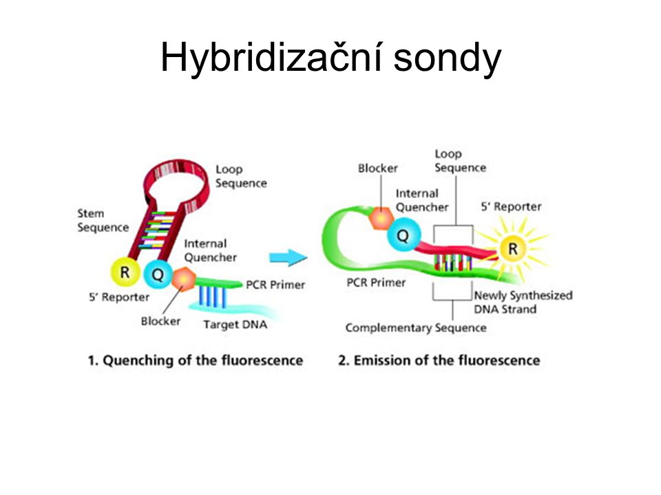 Hybridizační sondy