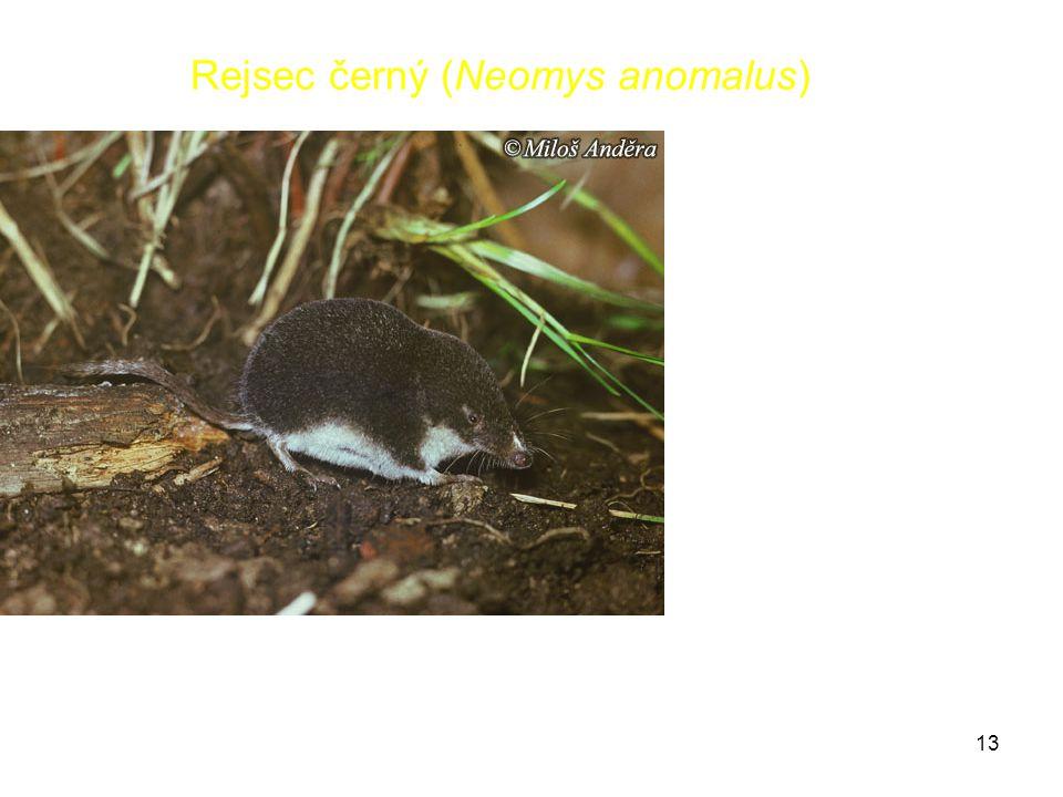 Rejsec černý (Neomys anomalus)