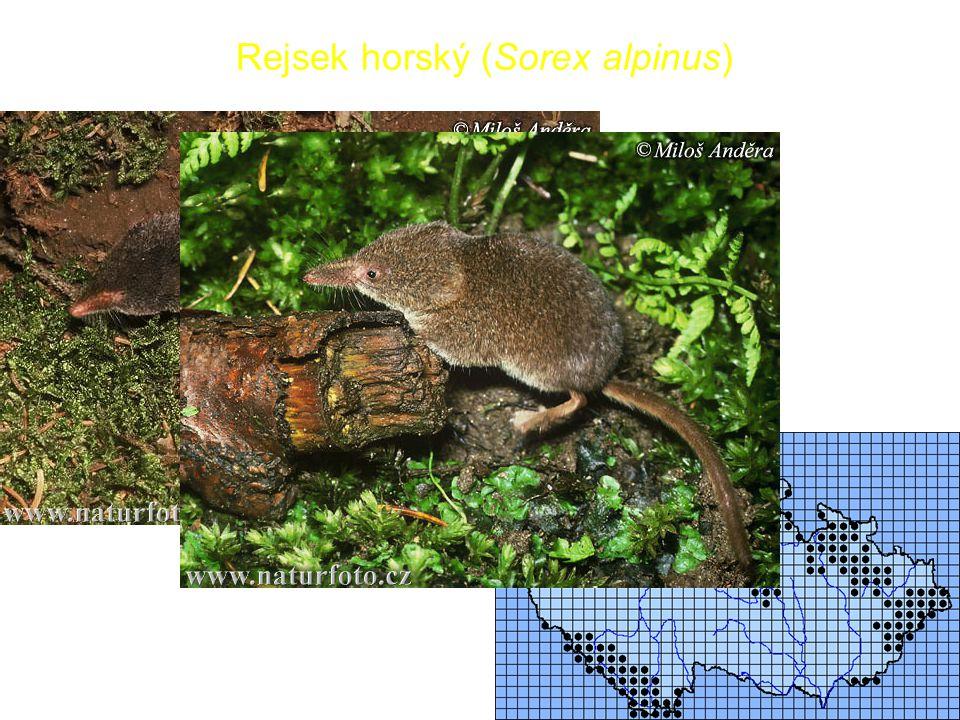 Rejsek horský (Sorex alpinus)