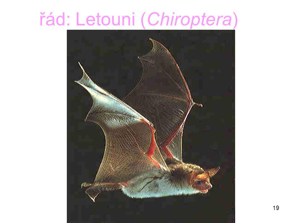 řád: Letouni (Chiroptera)