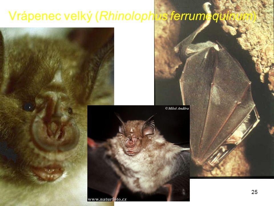 Vrápenec velký (Rhinolophus ferrumequinum)