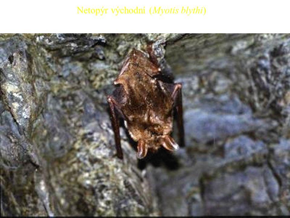 Netopýr východní (Myotis blythi)