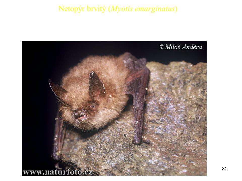 Netopýr brvitý (Myotis emarginatus)