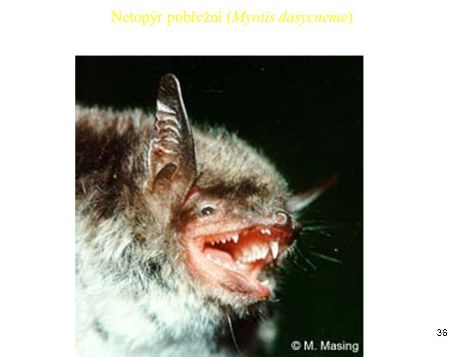 Netopýr pobřežní (Myotis dasycneme)