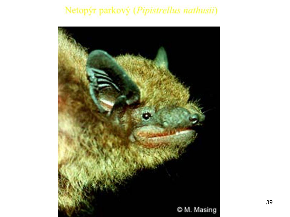 Netopýr parkový (Pipistrellus nathusii)
